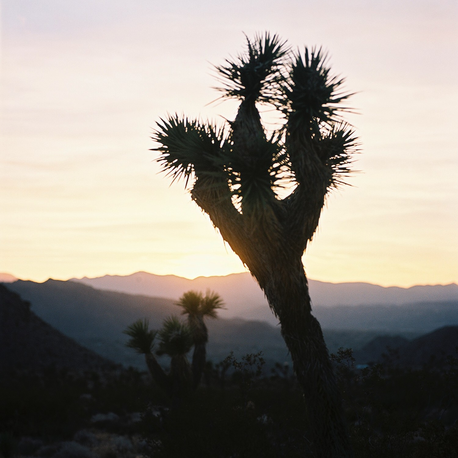 silhouette of joshua tree cactus in dessert at sunset in southern California