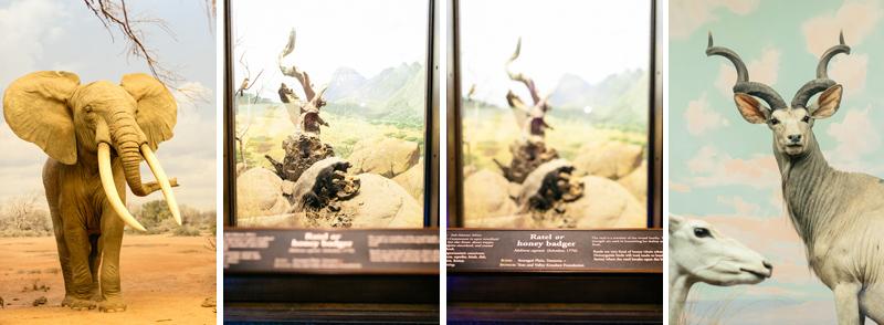 elephant honey badger displays at Los Angeles Natural History Museum wedding