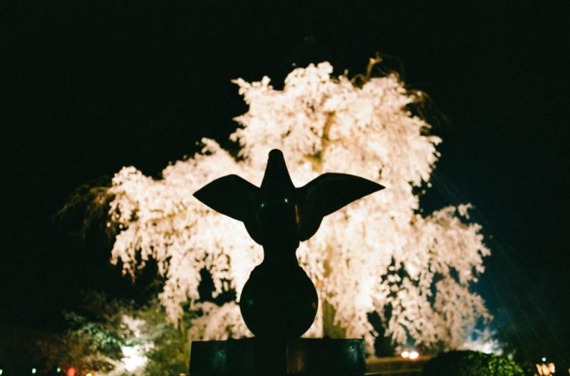 Hanami night time sakura festival at Maruyama Park in Kyoto. Cherry blossom tree.