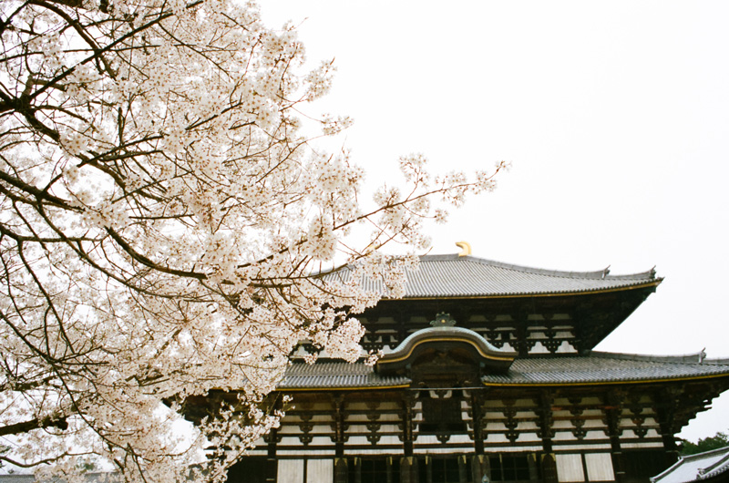 Todaiji Temple in Nara Japan during cherry blossom season