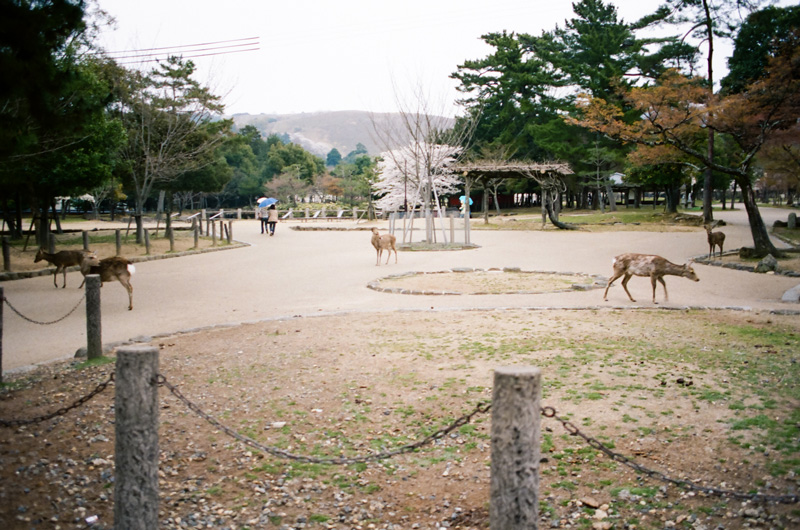 Deer Park in Nara. Japanese travel photography 35mm film.