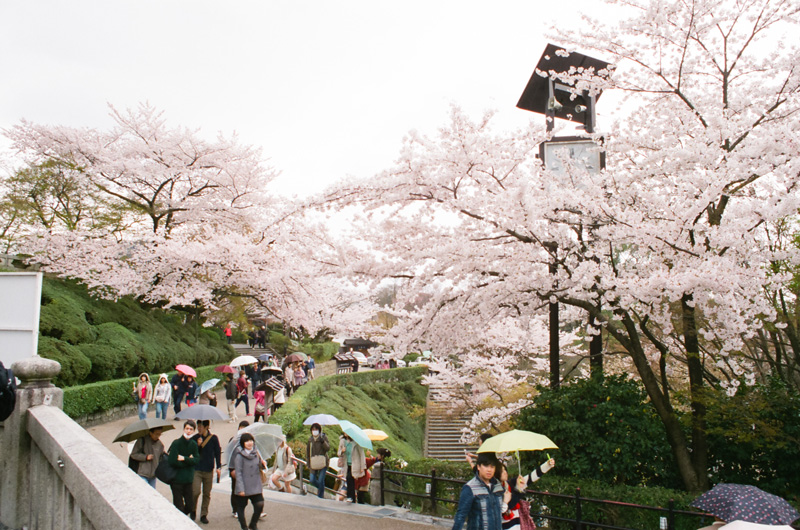 Cherry blossoms and umbrellas at Kiyomizu Dera Temple in Kyoto, Japan. 35mm film.