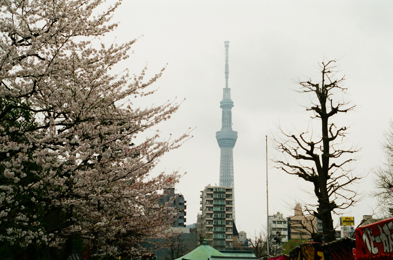 Tokyo SkyTree through fog and cherry blossoms