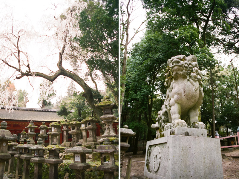 Cherry blossom tree and lion statue at Kasuga Shrine in Nara