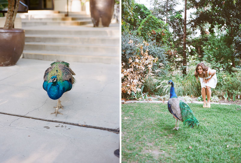 Peacocks photobomb engagement photo session at LA Arboretum
