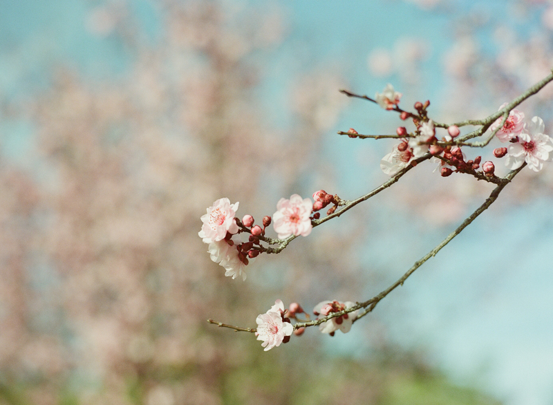 Beautiful sakura cherry blossoms fine art film photography