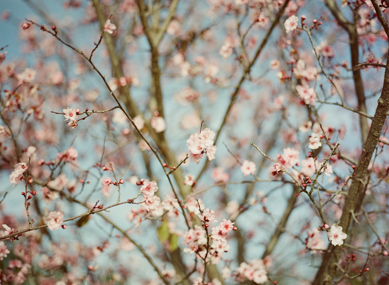 Cherry blossoms on medium format film portra 800