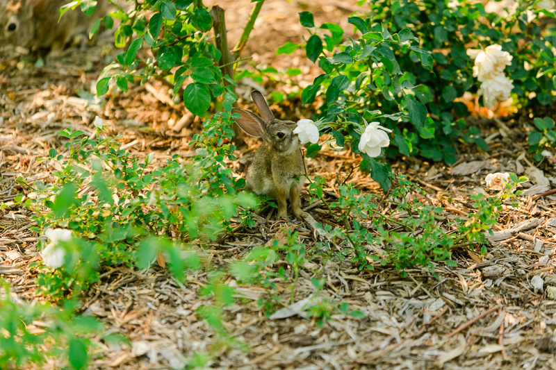 bunny on grounds at Ponte Winery wedding