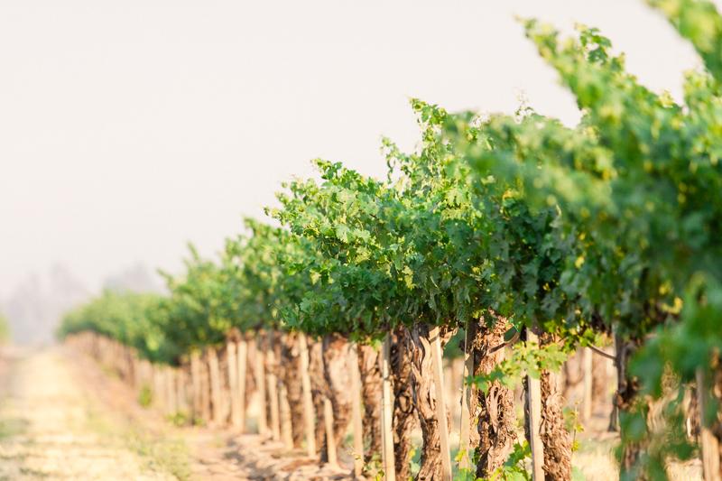 Ponte Family vineyard grapevines Temecula