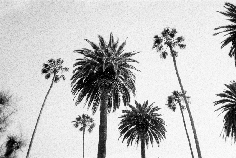 Los Angeles palm trees on black and white film