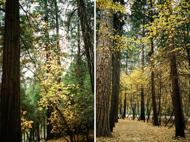Golden leaves fall colors at Yosemite on 35mm film